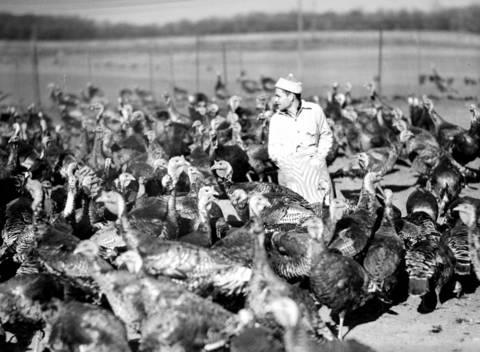 Deer Hill turkey farm in Palatine, Ill., in 1936.