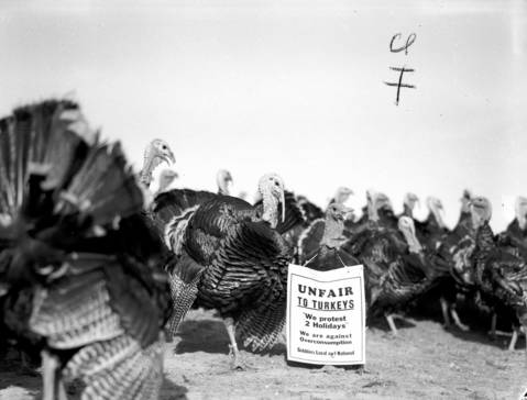 Turkeys protest the overconsumption of turkeys on holidays on the Law family farm in Mount Carroll, Ill., in November 1940.