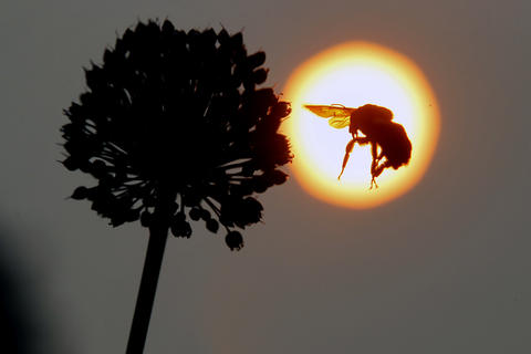 A bee flies around flowers along the Colonial Parkway Wednesday evening as the sun begins to set.