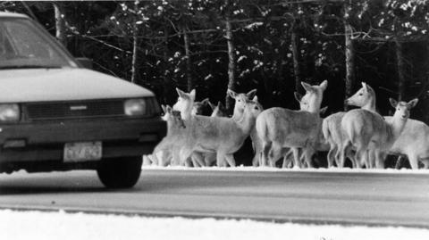 February 1986: A group of white deer congregates beside a road at Argonne National Laboratory near Lemont. An estimated 400 deer lived at the southwest suburban site in 1986. At times they became traffic hazards. To curb population growths, official would trap some and send them to zoos.