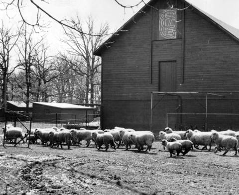 A flock of sheep at the Lake Zurich Golf Club. The flock used to roam fairways, with fences posted around the greens.
