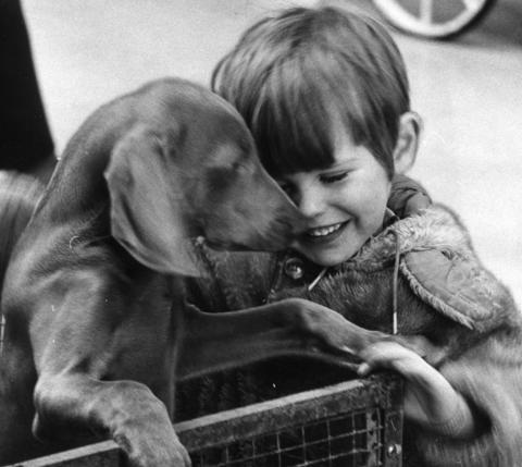 March 12, 1971: Brian Conner, 3, of Lake Bluff, makes friends with Max, a Weimaraner.