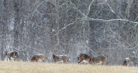 A large group of deer graze Tuesday as a steady snow comes down on a field near Endview Plantation Tuesday afternoon.