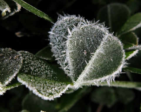 A layer of frost rests on vegetation early Wednesday morning April 6, 2016. after tempertures broke the freezing mark overnight on the Virginia Peninsula.