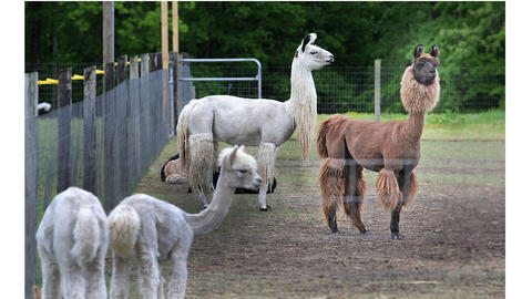 Fox Wire farm has gelded male guard llamas, Ross, left, and Jack. The long pieces of fur will sway when they run making them more treacherous looking to predators. John Ballentine has opened up new shop to market the alpaca furs produced by the animals on his Fox Wire Farm.