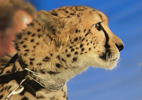 Two-year-old African Cheetah, Misi, watches the crowd from a table at the Jack Hanna show at the Virginia Living Museum.