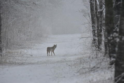 During a recent snow storm I ran across this coyote in McDowell Park in Naperville. The falling snow provided a nice backdrop.