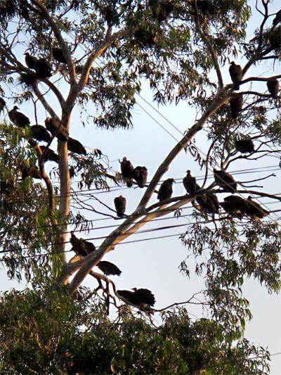 """I had never seen so many vultures in one place as I did in this tree in Addis Ababa, Ethiopia.""<br> <br> -- Rahul Sur"