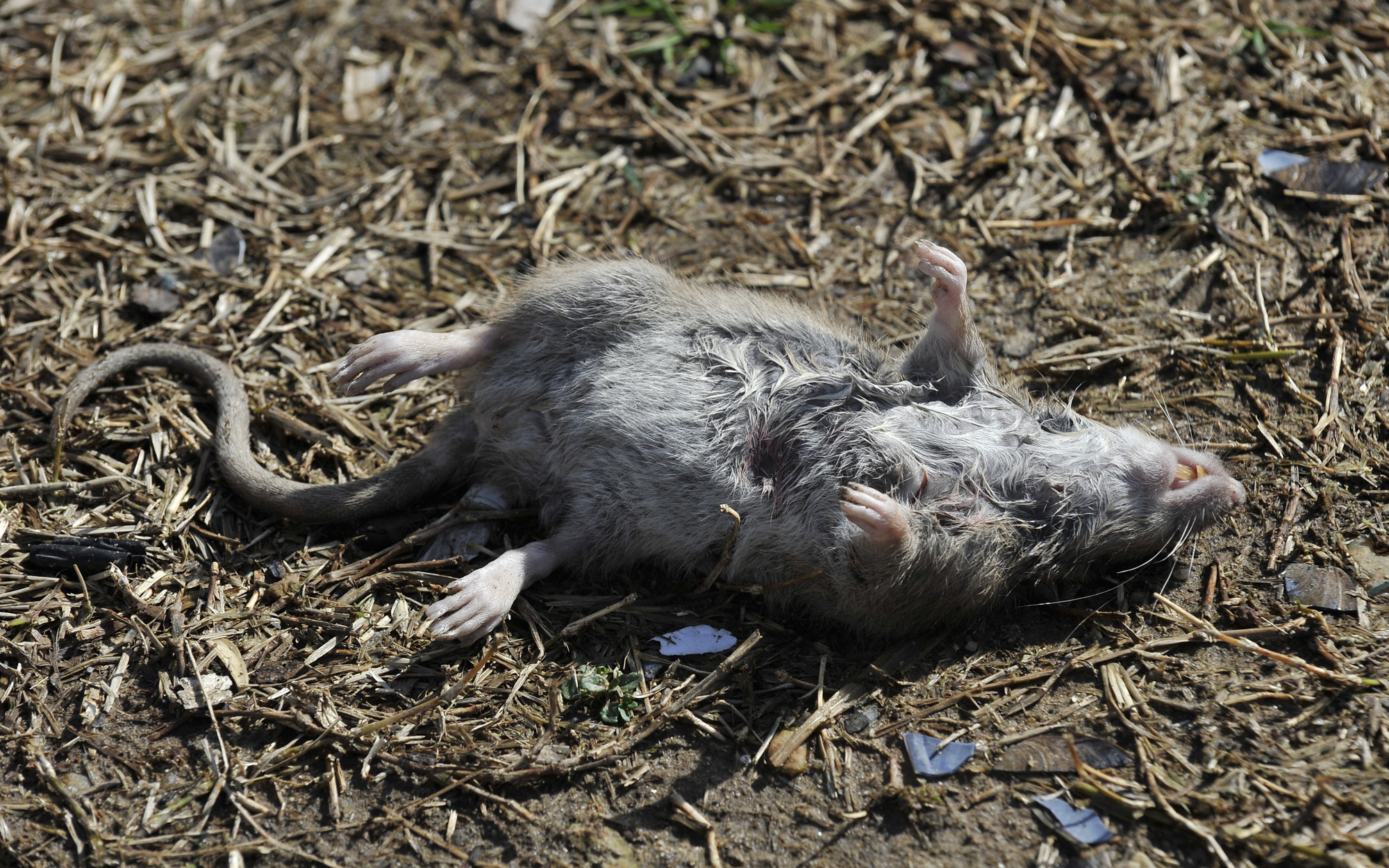 Pictures: Rats in Baltimore County - Dead rat