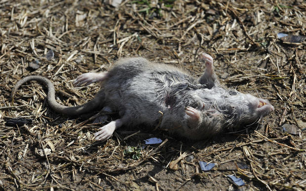 pictures rats in baltimore county baltimore sun