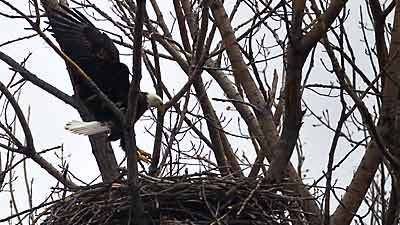 A pair of bald eagles build a nest at Whitford Pond in Chicago. The nest marks the first time bald eagles have successfully taken up residence in Chicago since the 1800s, experts say.