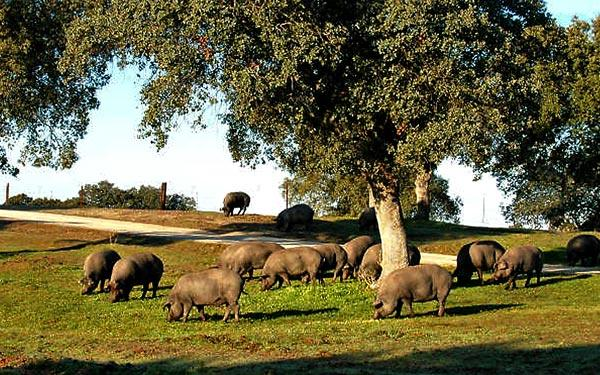 Iberico pigs forage for acorns.