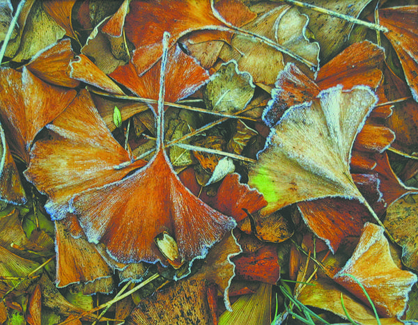 """Frosted Gingko Leaves"" by Sara Howell of Gainesville, Va., was selected best of show in the annual Cumberland Valley Photographic Salon, now on display at Washington County Museum of Fine Arts in Hagerstown."