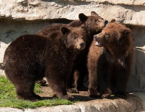 Orphaned Alaskan Bear Cubs Make Detroit Zoo Debut