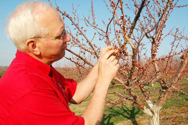 Richard Friske, owner of Friske Orchards in Charlevoix, examines early apricot buds. The trees are beginning to blossom because of the early warm weather, five weeks ahead of schedule.
