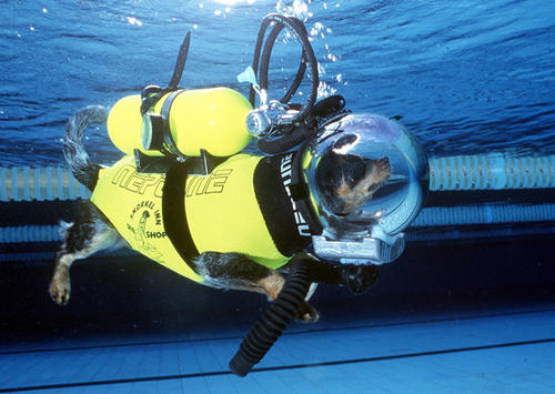 'Hooch,' believed to be the world's only scuba and skydiving dog, enjoys a dive in a swimming pool near Sydney. 'Hooch,' a cross between a cattle dog and a King Charles spaniel, who has made 14 scuba dives and 53 parachute jumps, was forced to retire after she broke her leg falling out of bed.