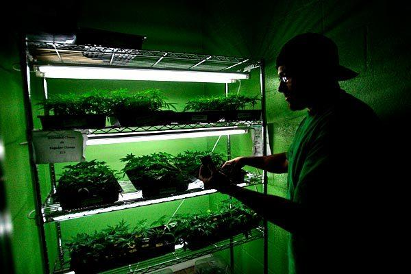 Wally looks over cloned marijuana plants that are available for sale at the Long Beach dispensary. Patients are allowed to purchase only a small number of them to grow at home.