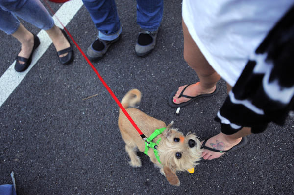 Jasper, a dachshund terrier mix, looks up to his owner Nikki Rollison of Baltimore during a food truck rally at the Maryland SPCA's Hampden location.