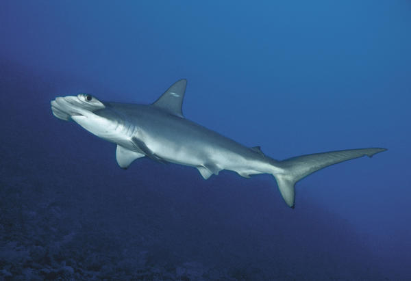 A scalloped hammerhead shark. A new species of shark closely resembles the scalloped hammerhead, which is being considered for endangered species protection.