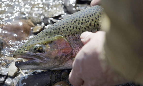 In this March 13, 2012, photo, Chris Melohusky releases a steelhead trout he caught in Buffalo Creek during the warm winter weather in Elma, N.Y. A new report from the National Wildlife Federation says that warm temps and low snowpack could adversely affect trout and fishing.