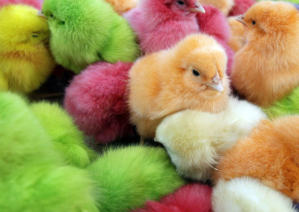 Chicks, that are dyed with artificial colors, are sold at a street market in Beirut on March 28, 2012, to celebrate the Christian occasion of Easter. Lebanese traditionally buy colored chicks in the lead up to Easter.