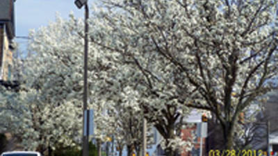 These flowering pear trees lining the streets of Somerset Borough are in full-bloom early this year.