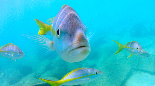 Curious yellowtail snapper check out a visitor in this underwater view at Disney's Castaway Cay in the Bahamas, where the Fantasy docked early Tuesday, March 27,  2012.