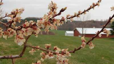 Richard Friske, owner of Friske Orchards in Charlevoix, estimates one in 10 apricot blossoms may still produce fruit after the recent cold snap, which followed mid-March's 80-degree weather. Temperatures have also been too cool for bees to fly, making Friske wonder if the remaining blossoms have been pollinated.