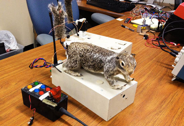 Robosquirrel, the robotic squirrel, in the lab.