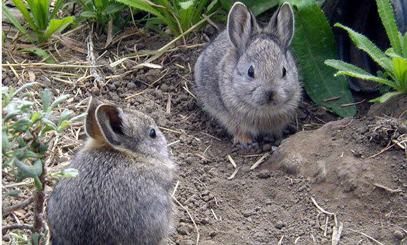Two juvenile Columbia Basin pygmy rabbits born in a breeding program in Washington State University in Pullman. The rabbits, believed to be the smallest rabbits in the world, are threatened by loss of sagebrush habitat in the western U.S. and lack of snow, which they use to escape predators.