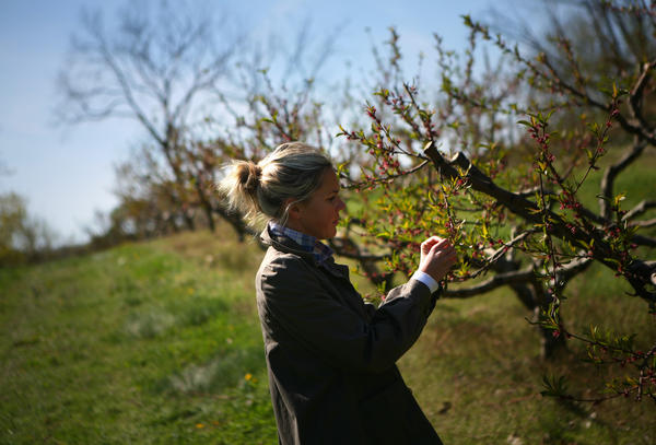 Abby Klug inspects apricot trees on her family's Mick Klug Farm in St. Joseph, Mich. Fruit growers in Southwest Michigan are concerned because trees blossomed a full month early and now are vulnerable to a killing frost.