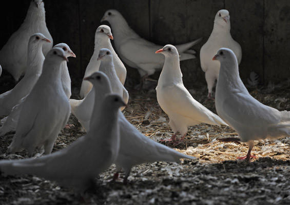 Daniel Brubaker (not pictured), 19, of Maxatawny Township had found a niche raising pigeons for eating. According to Brubaker, there are some local restaurants who purchase his pigeons to serve squab.