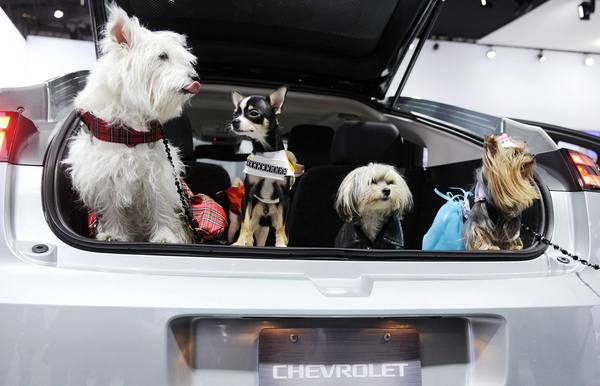 Dogs are pictured in the hatch back of a Chevy Volt during auto maker Chevrolet's Pet Day event promoting safe travel for pets in cars at the New York International Auto Show