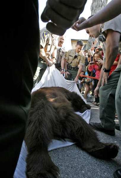 Neighbors get a close look at a California Black bear that weighed an estimated 400 lbs. after it was taken out of a backyard at 2469 Montrose Ave. in Montrose on Tuesday. After being tranquilized, the bear was taken out to the Angeles Forest by the California Fish & Game Dept. via a bear trap towed by a truck.