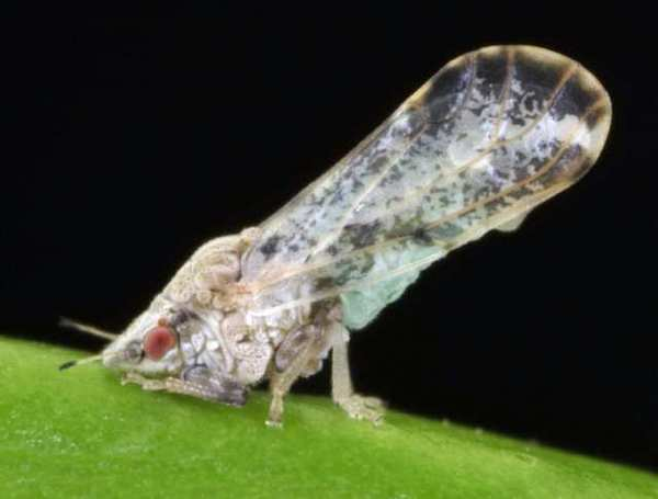 The adult citrus psyllid, the pest which carries Huanglongbing disease.