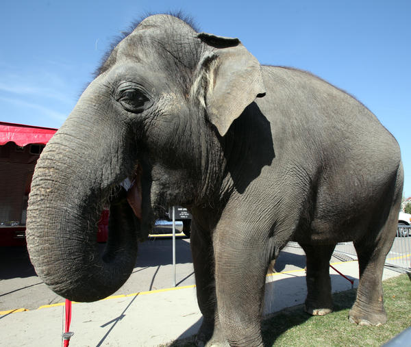 Rosie, a female Asian elephant, enjoys a bite of fresh grass in her pen outside the Aberdeen Recreation and Cultural Center on Wednesday. Rosie is part of the Shrine Circus starting today at the Aberdeen Civic Arena. American News Photo by John Davis