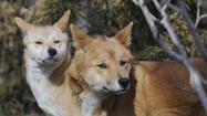 The Wildlife Conservation Society's Prospect Park Zoo debuted a new exhibit today – Australian dingoes – a new species for the zoo and a perfect addition to the zoo's Australian Walkabout on the Discovery Trail. These are the first dingoes in a New York City zoo in 40 years.