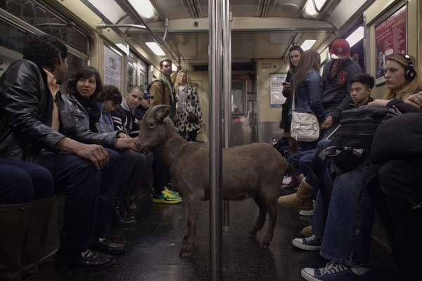 "Cyrus Fakroddin and his pet goat Cocoa ride the downtown C train in New York. Cocoa is a 3-year-old Alpine Pygmy mixed goat who lives with Cyrus in Summit, New Jersey. They frequently take trips into Manhattan to enjoy the city. Fakroddin has raised Cocoa since she was 2 months old and treats her like a human. ""Cocoa doesn't even know she is a goat and you see that in her, but she loves hanging out with people,"" Fakroddin said."