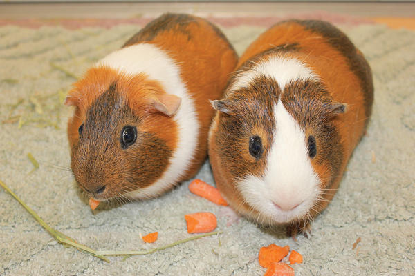 These male guinea pigs, Brownie and Cocoa, are the best of friends.
