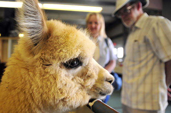 An alpaca bred and raised locally watches as people arrive to the Washington County Agricultural Education Center in Hagerstown, Saturday for the 5th Alpaca Farm Days 2012.