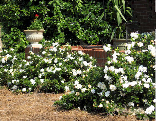 The new Crown Jewel gardenia produces clusters of double, white flowers.