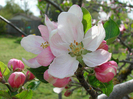 Apple blossoms in  Shenandoah Valley signal start of Apple Blossom Festival.