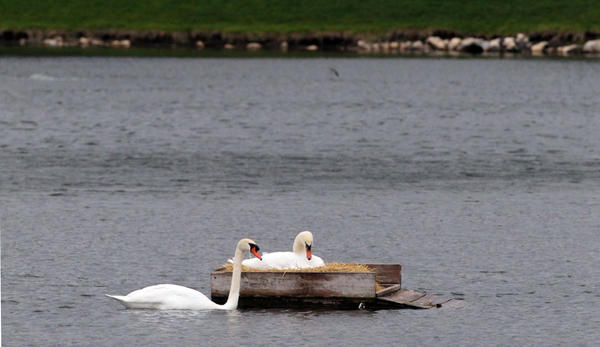 A pair of swans stay close to their nest in the middle of a pond in the Bay Colony Drive apartments in unincorporated Cook County near Des Plaines. Over the weekend Anthony Hensley was killed when his kayak tipped over while tending to swans in the pond.