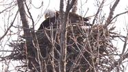 A female American Bald Eagle has been spotted incubating eggs in a nest in a Cook County forest preserve in Palos Township and officials believe that the eaglets have recently hatched, officials announced today.