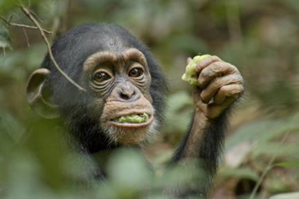 'Chimpanzee'