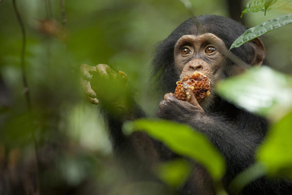 "A nature doc about chimps. The Earth Day folks and 4/20 devotees (the film opens on the ""holiday"") will surely find common ground here. Out Friday."
