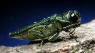Look out, the evil Emerald Ash Borer is now within 23 miles of Connecticut's western border.