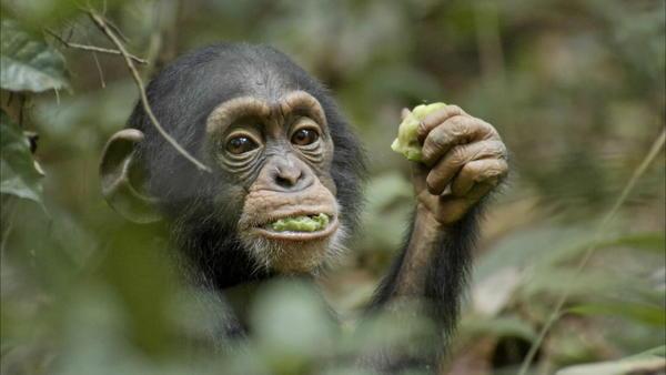 Disney's Chimpanzee