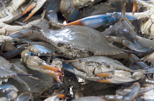 Blue crabs rest in bushel basket at Graham and Rollins in Hampton as they await shipment to market.