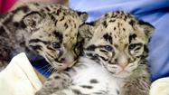 The 6-week-old clouded leopard cubs at the Port Defiance Zoo & Aquarium were given the Thai names of Chan Sun (Noble) for the male and Suksn (Mischievous) for the female, based on an online survey taken by nearly 6,000 people.